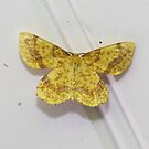 False Crocus Geometer Moth by Alice Kahn