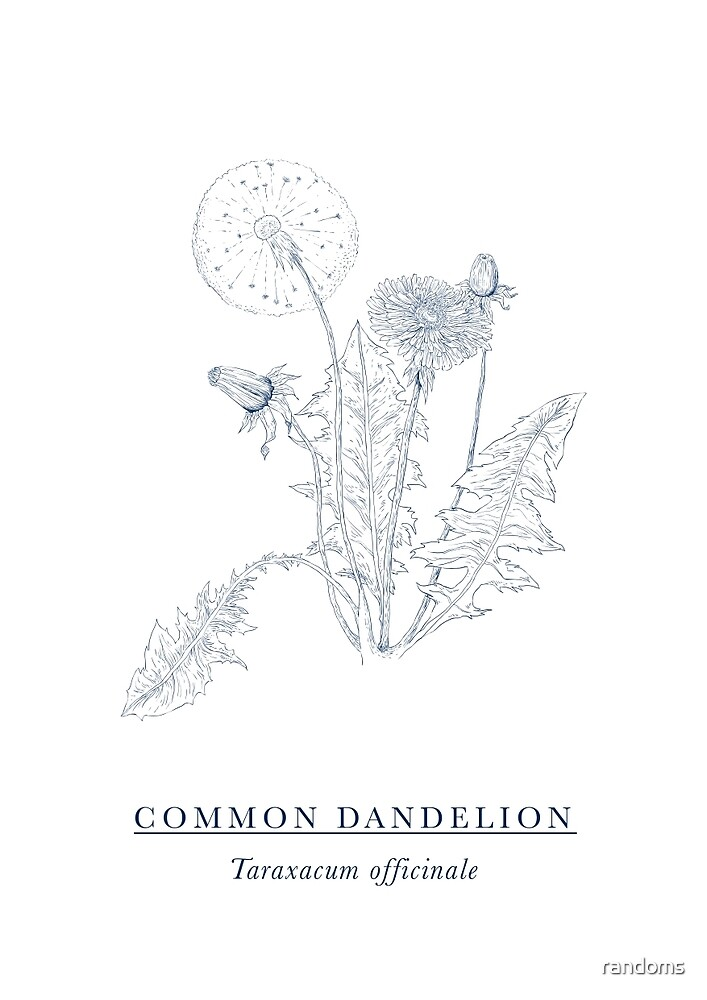 Dandelion by randoms