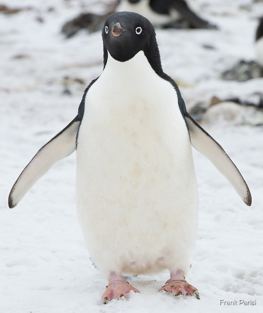 An Adelie penguin, from Antartica by Frank Parisi