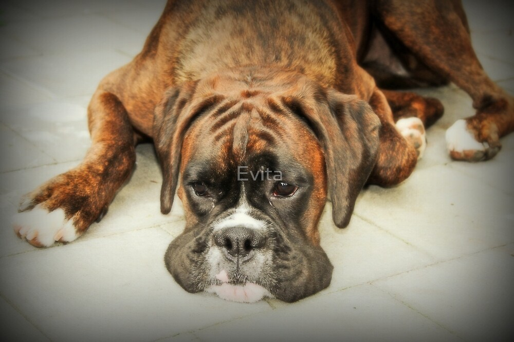 Such Is Life - Boxer Dogs Series - Female Boxer by Evita