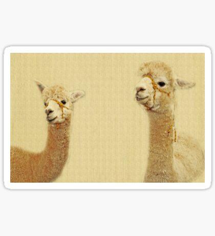 Porträt von zwei Alpakas Sticker