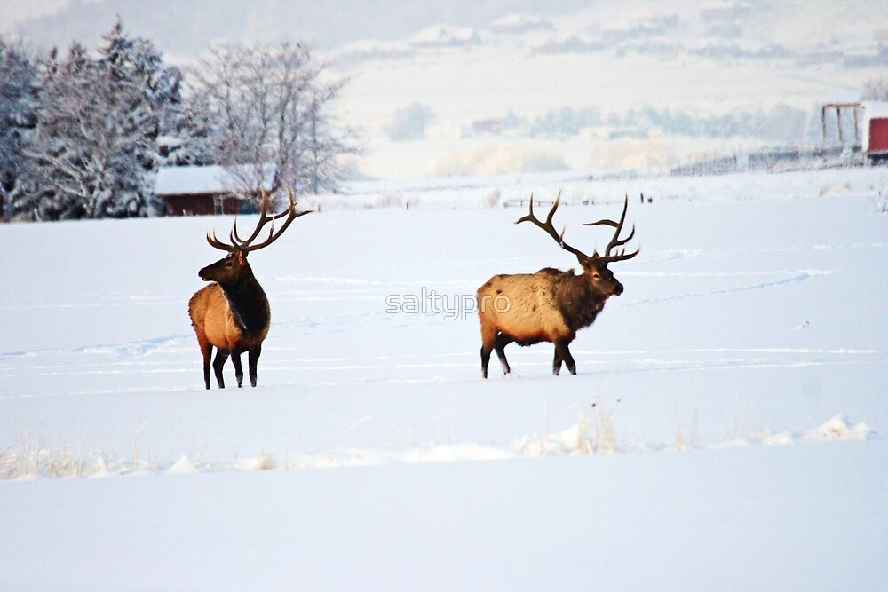 Bull Elk in country  by saltypro