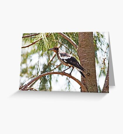 Magpie..... Juvenile Greeting Card
