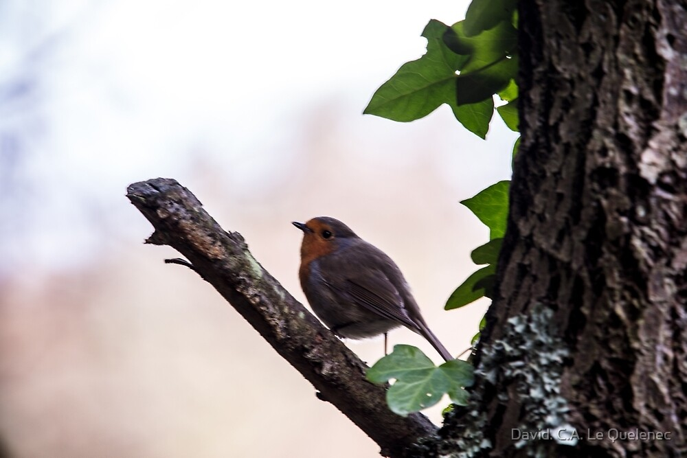 Robin  by David. C.A. Le Quelenec