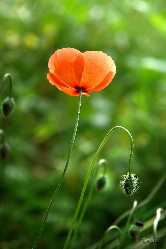 Red Poppy Flower in the Field by DAntas