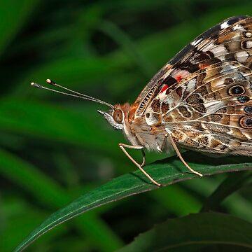 Common Buckeye  (Junonia coenia) butterfly by eyalna