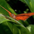 Julia Heliconian butterfly, (Dryas Iulia) by Eyal Nahmias