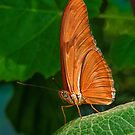 Julia Heliconian butterfly, (Dryas Iulia), by Eyal Nahmias