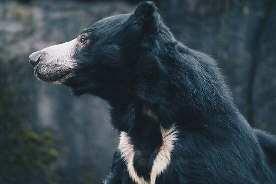 Sloth Bear by Caean Do Couto