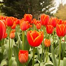 World Favourite Tulips by SusanAdey