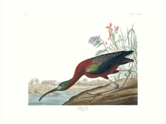 Glossy Ibis - John James Audubon  by billythekidtees