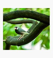 Java sparrow on a branch Photographic Print