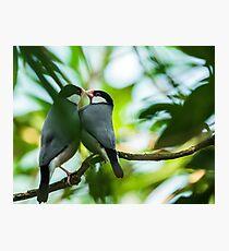 Java sparrows mating ritual Photographic Print