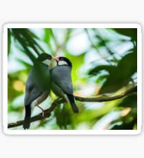 Java sparrows mating ritual Sticker