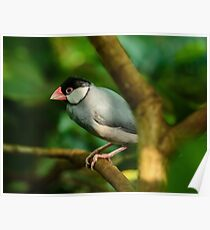 Java sparrow on a branch Poster