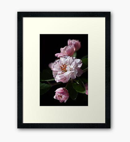 Crabapple Delight Framed Print