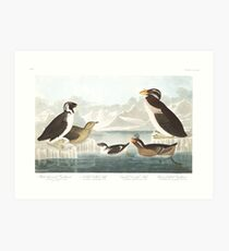 Ancient Murrelet, Kittlitz's Murrelet, Least Auklet, Crested Auklet and Rhinoceros Auklet- John James Audubon  Art Print