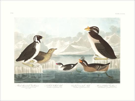 Ancient Murrelet, Kittlitz's Murrelet, Least Auklet, Crested Auklet and Rhinoceros Auklet- John James Audubon  by billythekidtees