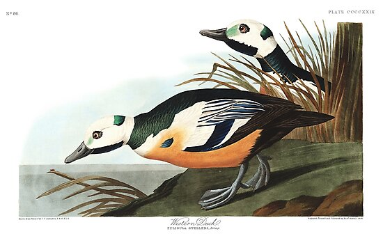 Steller's Eider - John James Audubon  by billythekidtees