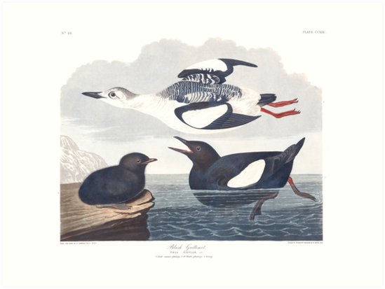 Black Guillemot - John James Audubon by billythekidtees