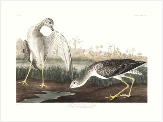 Greater Yellowlegs - John James Audubon  by billythekidtees
