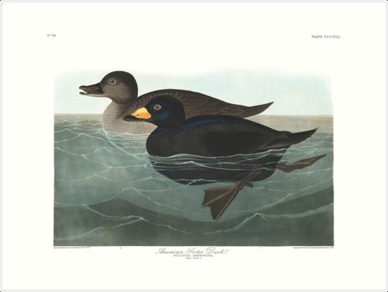 Black Scoter - John James Audubon by billythekidtees