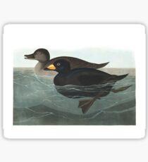 Black Scoter - John James Audubon Sticker