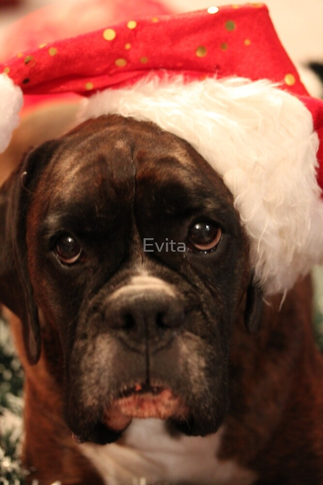 Season's Greetings - Boxer Dogs Series by Evita