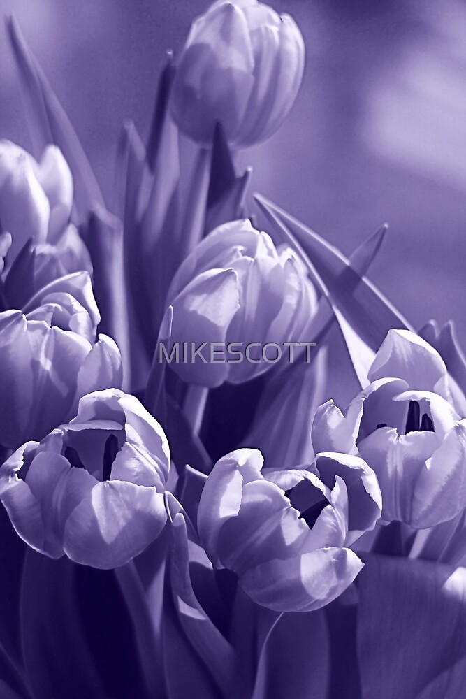 TULIPS by MIKESCOTT