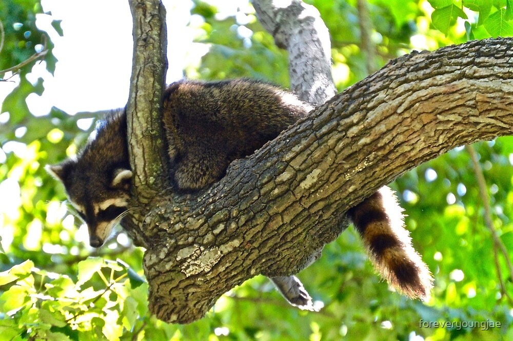 Sleepy Raccoon by foreveryoungjae
