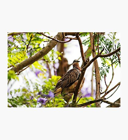 Diamond Dove ( Geopelia Cuneata) Photographic Print