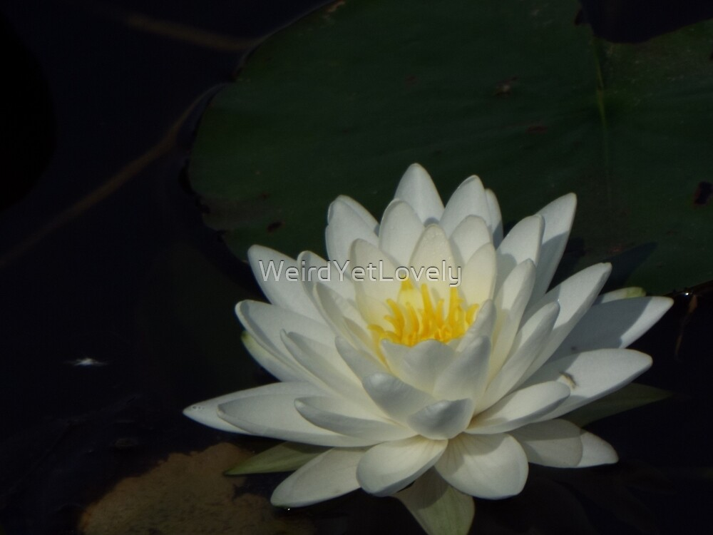 Water Lily Love by WeirdYetLovely