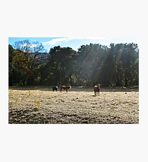 Cows, Santa Ysabel, California Photographic Print