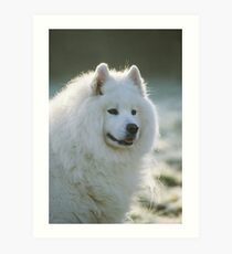 Smiling Samoyed  Art Print