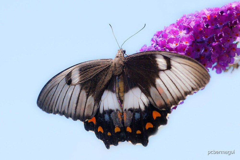 Australian Orchard Butterfly - Female by pcbermagui