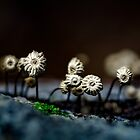 marasmius colony by Manon Boily
