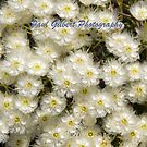 White Wildflower (Verticordia hueglii) Western Australia by Paul Gilbert