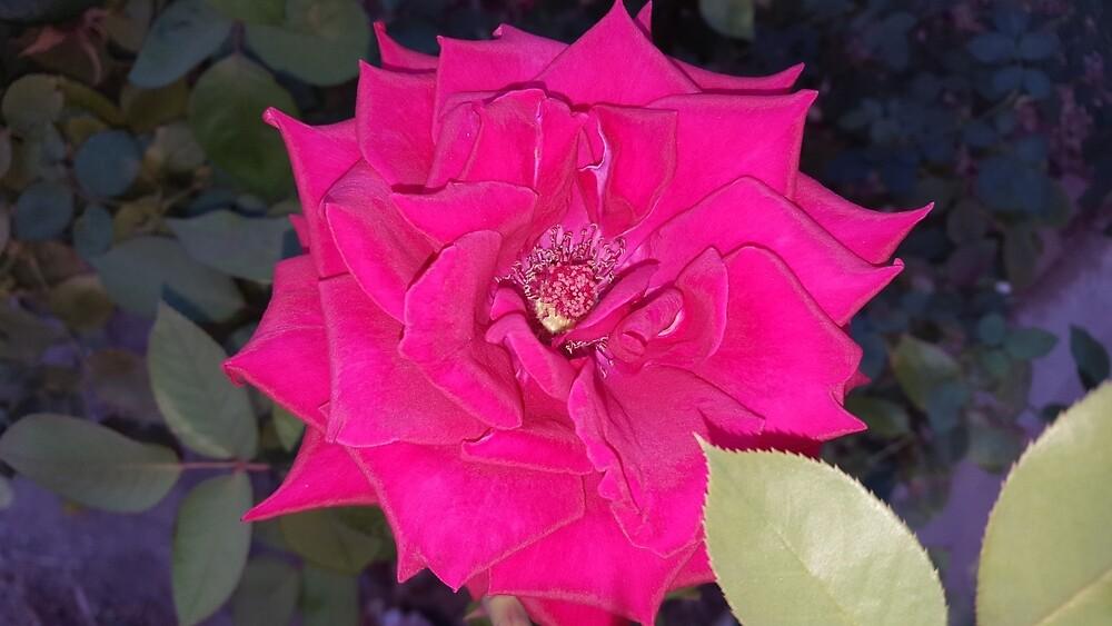 Pink Rose by MisfitsRehab