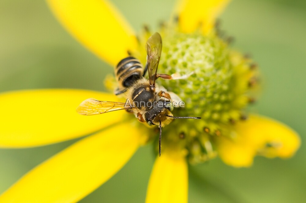 Megachile on Yellow by AnnoraBee