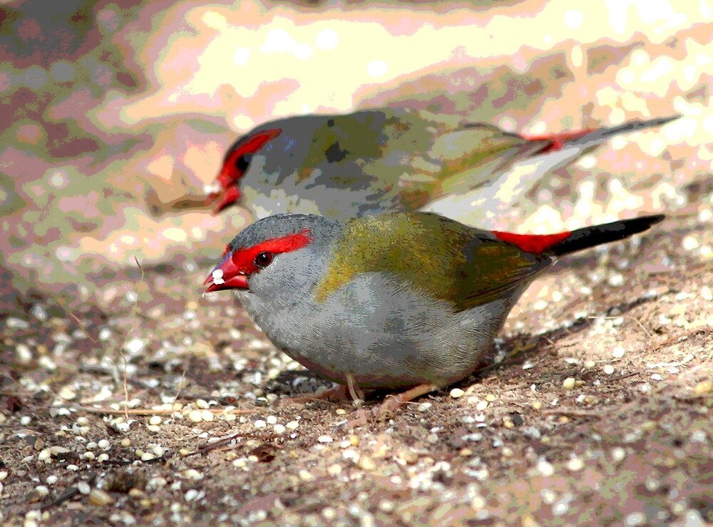 Red-browed Finches by Echidna  Walkabout