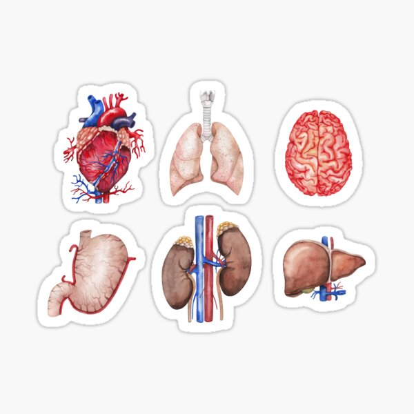 Watercolor anatomy collection Sticker