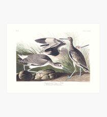 Willet - John James Audubon Art Print