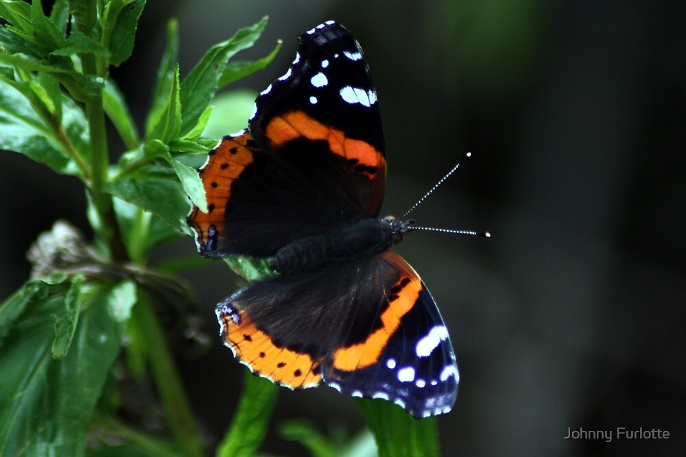 Red Admiral Butterfly by Johnny Furlotte