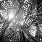 Inside a Banyan Tree by Irina Chuckowree