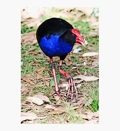 Eastern Swamphen Photographic Print