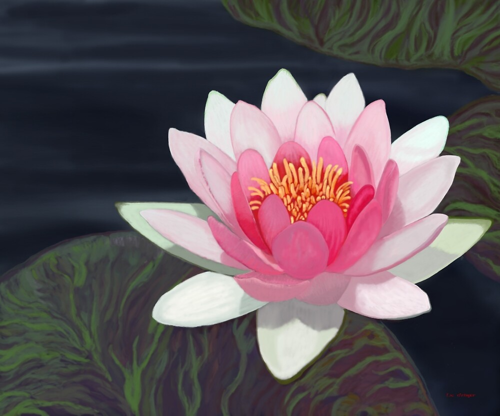 Water Lily by Tim Stringer