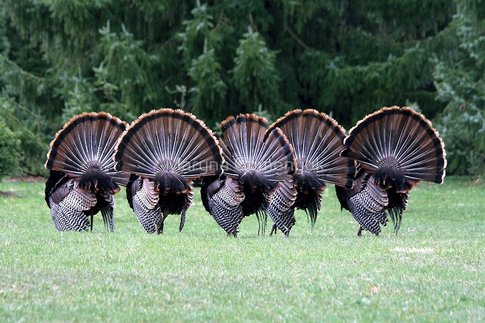 Wild turkey mating dance by Maryna Gumenyuk