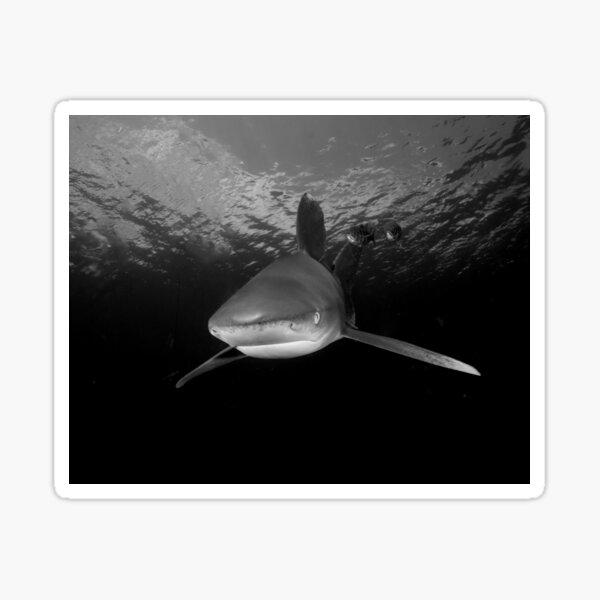 Approaching Oceanic White Tip Shark Sticker