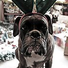 I'm Not A Reindeer!  -Boxer Dogs Series- by Evita