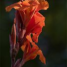 Canna Lily Catching the Light by Gerda Grice